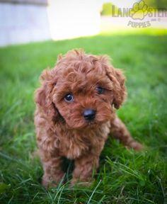 #Cavapoo #Charming #PinterestPuppies #PuppiesOfPinterest #Puppy #Puppies #Pups #Pup #Funloving #Sweet #PuppyLove #Cute #Cuddly #Adorable #ForTheLoveOfADog #MansBestFriend #Animals #Dog #Pet #Pets #ChildrenFriendly #PuppyandChildren #ChildandPuppy #BuckeyePuppies www.BuckeyePuppies.com