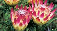 The protea flower Beautiful Flowers Pictures, Flower Pictures, Amazing Flowers, Protea Plant, Protea Flower, Garden Trees, Garden Plants, Native Australians, Australian Garden