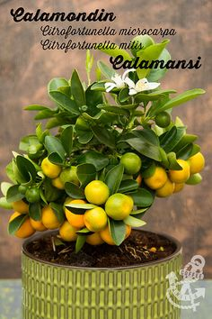 Calamondin Orange Tree / Citrofortunella Microcarpa / Citrofortunella Mitis - Info and Recipe Ideas
