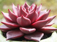 Echeveria agavoides 'Romeo' (Romeo Wax Agave) is a succulent that forms clumps of individual rosettes up to 6 inches (15 cm) tall and up...