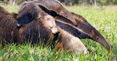 Investigate those responsible for killing an anteater with sticks and stones Getting A Puppy, Out Of Africa, Sticks And Stones, Puppy Mills, Old Dogs, Fauna, Animals And Pets, Wild Animals, Kangaroo