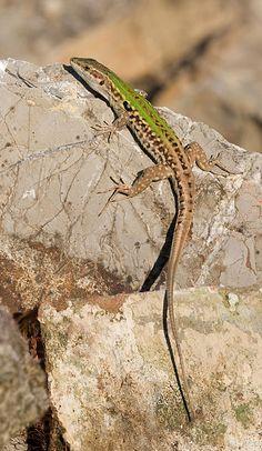 The Italian wall lizard (Podarcis sicula) is native to southern and southeastern Europe. Photo: Richard Bartz