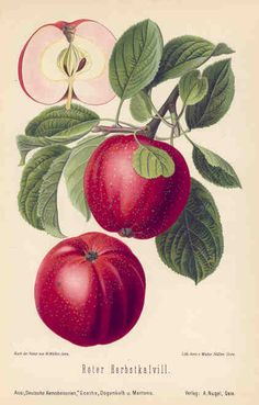 apple botanical illustration