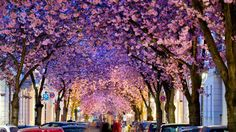 Flowering cherry trees bloom in spring along Heerstrasse, a street also known as 'Cherry Blossom Avenue' in Bonn, western Germany
