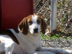 Simon is an adoptable Hound Dog in Appomattox, VA. Simon is a very nice hound boy who desperately needs a loving home! He is very lovable and submissive! It is hard to get a photo of him standing be...