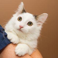 Petfinder Adoptable Cat | Domestic Medium Hair | Neenah, WI | Mickey