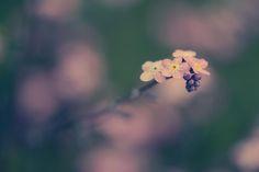 vergissmeinnich by Jessica Tekert on 500px