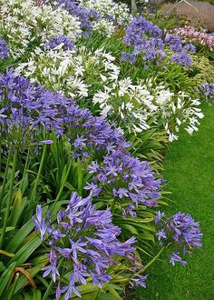 Plant Agapanthus And Agapanthus Care Agapanthus- great plant for small gardens especially for dry areas.Agapanthus- great plant for small gardens especially for dry areas. Garden Shrubs, Garden Plants, Garden Landscaping, Potager Garden, Plants For Small Gardens, Back Gardens, White Agapanthus, Agapanthus In Pots, Planting