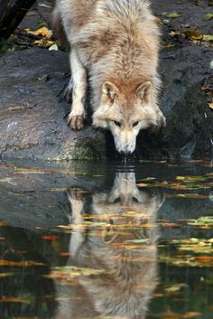 .The wolf is the ancestor of the dog, so it counts. I love them, too, and I love this picture.