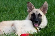 Halo: German Shepherd Dog, Dog; Bloomfield, NY