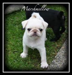 White Albino Pug | Pug-tastic!: Puppies