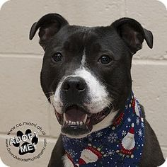 Urgent! I am at a high kill shelter in Troy, OH - Labrador Retriever/Pit Bull Terrier Mix. Meet Champ- URGENT, a dog for adoption. http://www.adoptapet.com/pet/16797823-troy-ohio-labrador-retriever-mix