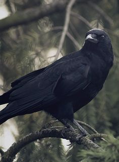 http://crowstudy.tumblr.com/post/68158949638