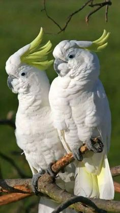 The yellow cockatoo (Cacatua galerita) is a relatively large white rooster . - Der Gelbhaubenkakadu (Cacatua galerita) ist ein relativ großer weißer Hahn … – The yellow cockatoo (Cacatua galerita) is a relatively large white rooster … – cockatoo Tropical Birds, Exotic Birds, Colorful Birds, Nature Animals, Animals And Pets, Cute Animals, Beautiful Creatures, Animals Beautiful, Most Beautiful Birds