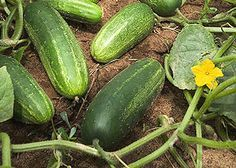 Growing Cucumbers Guide
