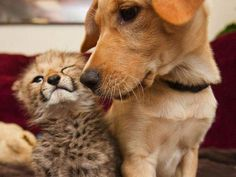 Funny Animal Pictures - View our collection of cute and funny pet videos and pics. New funny animal pictures and videos submitted daily. Unusual Animal Friendships, Unusual Animals, Baby Animals, Funny Animals, Cute Animals, Baby Cheetahs, Cheetah Cubs, Funny Animal Pictures, Dog Friends