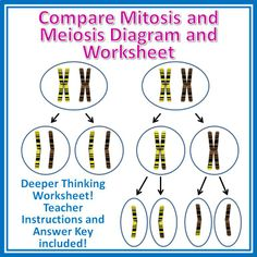 Two page worksheet to help students compare mitosis and meiosis. For Grades 9-12