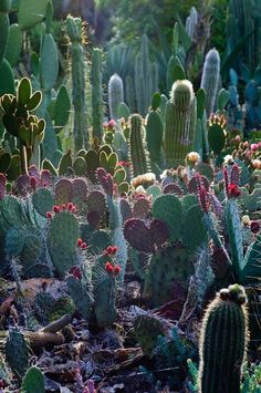 Arizona Cactus Garden, Stanford University, Palo Alto, CA.  Photo: pearson3, via Flickr