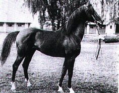 *Bask++  A very young Bask at Janow stud in Poland, before importation to the US.