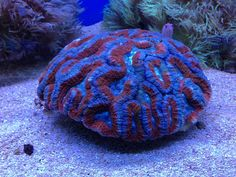 17, Lobophyllia – Red, Blue and Green Flat Brain Coral