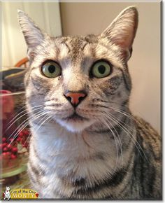 Read Monty's story the Egyptian Mau from Keansburg, New Jersey and see his photos at Cat of the Day http://CatoftheDay.com/archive/2014/January/27.html .