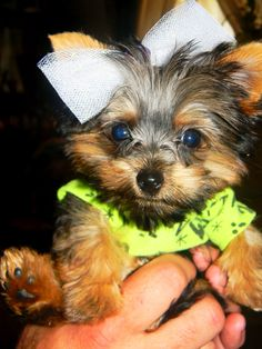 Remington- a 6wk old Yorkie :)
