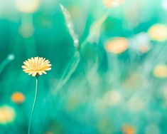 nature photography teal art print dandelion flowers