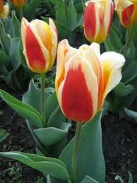 Tulips are my absolute favorite....