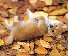 Shiba Inu Fall season play session! Love Shiba Inu's? We do too!!
