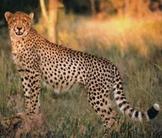 Cheetah - Full-grown cheetahs are about 4 feet long, not including a 30-inch tail. They weigh about 75 to 145 pounds and are 2 to 3 feet tall at the shoulder.  Cheetahs live to be about 12 years old in the wild and as long as 17 years in zoos.