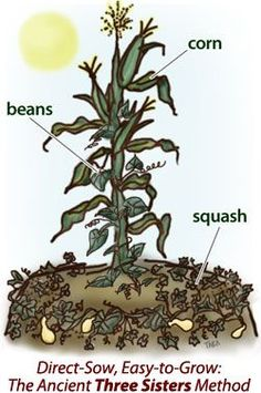 Corn acts as a support for climbing bean vines, the beans fix nitrogen in the soil for the high feeding requirements of corn and squash, and the squash provides mulch and root protection for the corn and beans!