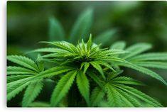 Marijuana Plants Can
