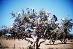 Goats in Argan Trees - Agadir, Morocco