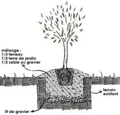 Planter un olivier (Fiches conseils)
