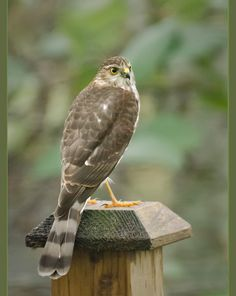 Sharp-shinned Hawk | by TT_MAC