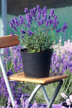 Lavendel (Lavandula) passt auf einen sonnigen Südbalkon #balkonpflanzen #südbalkon #lavendel #balkongestalten
