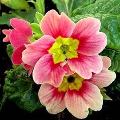 Imagens de flores: Frésias