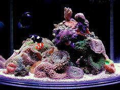 Nano sapiens - 2013 Featured Nano Reefs - Featured Aquariums - Monthly Featured Nano Reef Aquarium Profiles - Nano-Reef.com Forums #aquarium #reef #nano-reef
