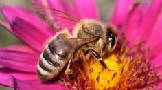Honey Bee Learning Centre- A LOT of good information on this website......videos, pictures, info. for teachers etc. etc. www.beesmatter.ca