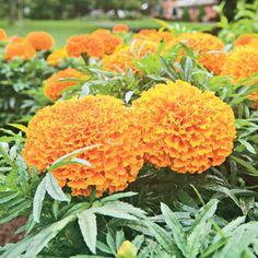 Moonsong Deep Orange Marigold