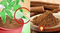 Viete, prečo je dobré pridať škoricu do črepníka? Úžasný efekt uvidíte už po niekoľkých dňoch!