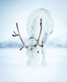 We love seeing and sharing photos from your time with Tromso Arctic Reindeer. Beautiful Creatures, Animals Beautiful, Arctic Wind, Animals And Pets, Cute Animals, Winter Magic, Tier Fotos, Winter Scenes, Animal Photography