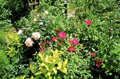 This was a lovely combination of roses and a lime-colored weigela shrub plant.