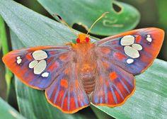Orange & Blue Moth