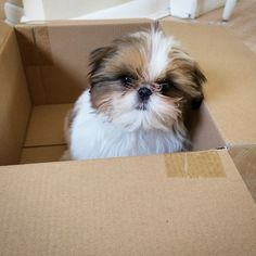 I remember the day my husband came home with a box. Inside was the most beautiful Llhasa Apso. Love at first sight x2
