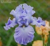 Image result for Monet Blue Iriss