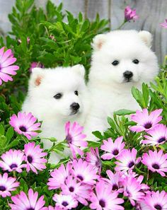 22 Samoyed Saturday Dog Samoyed Photos Who doesnt love cute fluffy dogs and are some of the cutest. Cute Baby Dogs, Cute Dogs And Puppies, Cutest Dogs, Adorable Puppies, Beautiful Dogs, Animals Beautiful, Simply Beautiful, Spitz Puppy, Japanese Spitz
