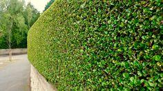 Eine gepflegte Hecke ist ein idealer Sicht- und Lärmschutz für alle die im Garten ungestört sein wollen.   #heckenschnitt #garten #sichtschutz
