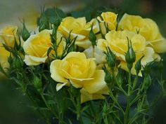 Most Widely Grown Garden Rose Varieties Amazing Flowers, Beautiful Roses, Beautiful Gardens, Beautiful Flowers, Lady Banks Rose, Prune Fruit, Musk Rose, Roses Only, Rose Varieties