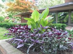 Persian Shield and Canna Lilies